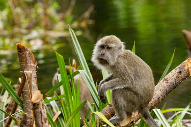 Long-tailed macaque wetlands,pose,perched,Crab-eating macaque,Long-tailed macaque,Cynomolgus monkey,Macaca fasicularis,mammalia,mammal,primates,cercopithecidae,monkey,macaque,old world monkey,least concern,forest,rainfor