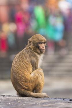 Rhesus macaque sitting rhesus macaque,rhesus monkey,macaca mulatta,mammalia,mammal,primate,Cercopithecidae,old world monkey,monkey,city,urban,road,urbanisation,urbanization,profile,face,eyes  ears,cute,sitting,vertebrate,le