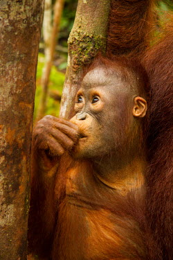 Infant Sumatran orangutan Sumatran orangutan,orangutan,pongo abelii,mammalia,mammal,primate,hominidae,hominid,great ape,forest,rainforest,Sumatra,Indonesia,Asia,critically endangered species,critically endangered,cute,baby,you