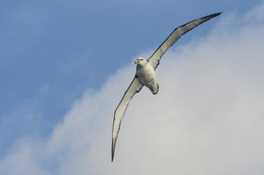 Shy Albatross in flight African bird,Horizontal,Outdoors,Pelagic,Seabirds,South Africa,africa,african wildlife,albatross,animal,aves,avian,biology,cape canyon,day,fauna,flying,marine,oceans,ornithological,ornithology,pelagic