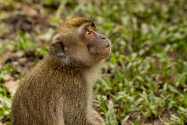 Long-tailed macaque looking up Crab-eating macaque,Long-tailed macaque,Cynomolgus monkey,Macaca fasicularis,mammalia,mammal,primates,cercopithecidae,monkey,macaque,old world monkey,least concern,forest,rainforest,Sumatra,Indonesia,