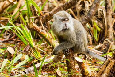 Long-tailed macaque Crab-eating macaque,Long-tailed macaque,Cynomolgus monkey,Macaca fasicularis,mammalia,mammal,primates,cercopithecidae,monkey,macaque,old world monkey,least concern,forest,rainforest,Sumatra,Indonesia,
