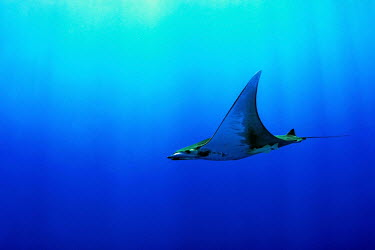 Mobula ray swimming Chilean devil ray,devil ray,box ray,Mobula tarapacana,chrondrichthyes,elasmobranchs,mobulidae,rays,ray,underwater,azores,atlantic ocean,atlantic,ocean,sea,blue,swimming,profile,side view,remora,verteb