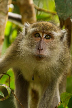 Long-tailed macaque close-up Crab-eating macaque,Long-tailed macaque,Cynomolgus monkey,Macaca fasicularis,mammalia,mammal,primates,cercopithecidae,monkey,macaque,old world monkey,least concern,forest,rainforest,Sumatra,Indonesia,