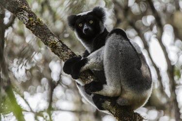 Indri in tree Indri,Indri indri,lemur,mammalia,mammal,primates,indriidae,vertebrate,critically endangered,critically endangered species,cute,side profile,profile,face,Madagascar,Africa,forest,rainforest,endemic,cli