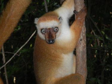 Sclater's lemur in tree Sclater's lemur,Sclater's black lemur,Blue-eyed black lemur,eulemur flavifrons,mammalia,mammal,primates,lemuridae,lemur,face,fur,eyes,nose,ears,forest,rainforest,cute,critically endangered,vertebrate,
