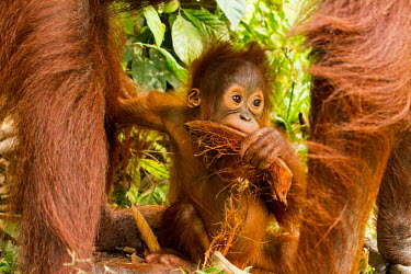Infant Sumatran orangutan Sumatran orangutan,orangutan,pongo abelii,mammalia,mammal,primate,hominidae,hominid,great ape,forest,rainforest,Sumatra,Indonesisa,Asia,critically endangered species,critically endangered,eyes,baby,cu