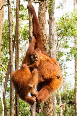 Sumatran orangutan adults with young climbing tree baby,juvenile,young,infant,parents,parent,climb,climbing,Sumatran orangutan,orangutan,pongo abelii,mammalia,mammal,primate,hominidae,hominid,great ape,forest,rainforest,Sumatra,Indonesisa,Asia,critica