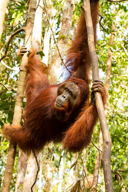 Male Sumatran orangutan climbing Sumatran orangutan,orangutan,pongo abelii,mammalia,mammal,primate,hominidae,hominid,great ape,forest,rainforest,Sumatra,Indonesisa,Asia,critically endangered species,critically endangered,male,climbin