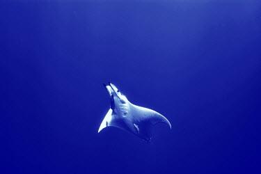 Mobula ray swimming Chilean devil ray,devil ray,box ray,Mobula tarapacana,chrondrichthyes,elasmobranchs,mobulidae,rays,ray,underwater,azores,atlantic ocean,atlantic,ocean,sea,blue,swimming,profile,low angle,vertebrate,ma