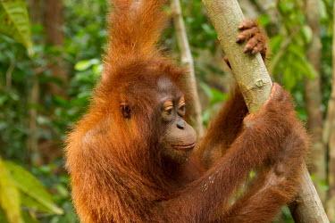 Young Sumatran orangutan dangling from tree baby,juvenile,young,infant,portrait,Sumatran orangutan,orangutan,pongo abelii,mammalia,mammal,primate,hominidae,hominid,great ape,forest,rainforest,Sumatra,Indonesisa,Asia,critically endangered specie