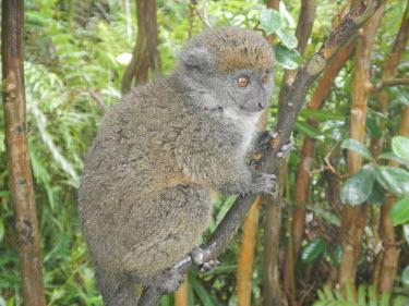 Eastern lesser bamboo lemur Eastern Lesser bamboo lemur,Lesser bamboo lemur,Grey gentle lemur,Bamboo lemur,Mammalia,mammal,Lemuridae,lemur,face,fur,eyes,nose,ears,forest,rainforest,cute,vulnerable,vertebrate,close up,profile,Mad