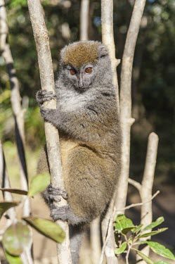 Dwarf lemur in tree Dwarf lemur,Cheriogaleus,Cheirogaleidae,primates,mammalia,mammal,Madagascar,endemic,Africa,profile,climbing,cute,face,eyes,nose,lemur,vertebrate