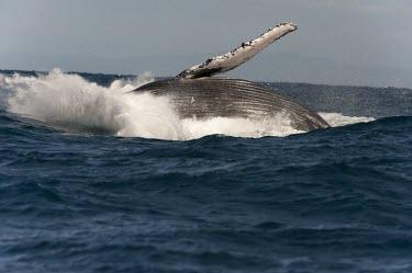 Humpback whale breaching Humpback whale,whale,mammalia,mammal,balaenopteridae,least concern,pectoral fin,pectoral fin slapping,animal behaviour,cetacean,sea,marine,ocean,Madagascar,Africa,splash,breaching,underside,water,wave
