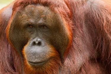 Male Sumatran orangutan close-up Sumatran orangutan,orangutan,pongo abelii,mammalia,mammal,primate,hominidae,hominid,great ape,forest,rainforest,Sumatra,Indonesisa,Asia,critically endangered species,critically endangered,close up,mal