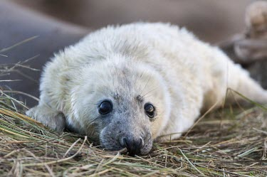 Grey seal pup Gray seal,Grey seal,Halichoerus grypus,mammalia,mammal,carnivora,carnivore,Phoicdae,seal,earless seal,cute,eyes,baby,pup,infant,young,juvenile,white,nose,whiskers,least concern,UK species,British spec