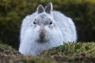 Mountain hare close-up Mountain hare,arctic hare,Lepus timidus,mammalia,mammal,Leporidae,hare,least concern,UK species,British species,close up,cute,nose,whiskers,ears,eyes,vertebrate,Scottish Highlands,Scotland,Highlands,U