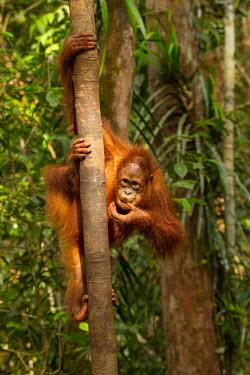 Sumatran orangutan eating baby,juvenile,young,climbing,profile,portrait,Sumatran orangutan,orangutan,pongo abelii,mammalia,mammal,primate,hominidae,hominid,great ape,forest,rainforest,Sumatra,Indonesisa,Asia,critically endange