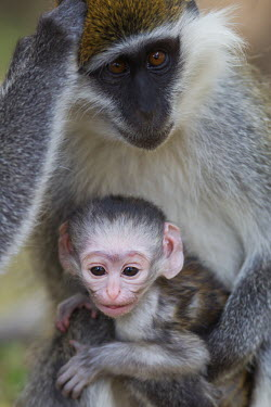 Grivet mother with young Grivet monkey,Malbrouk monkey,Green monkey,Grivet,Vervet monkey,mammalia,mammal,primates,Cercopithecidae,monkey,old world monkey,Chlorocebus aethiops,mother and child,mother,young,baby,fur,face,ears,p
