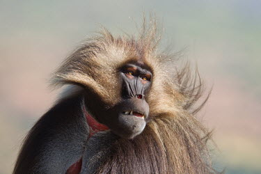 Gelada close-up Gelada baboon,gelada,baboon,Theropithecus gelada,mammalia,mammal,primate,cercopithecidae,old world monkey,monkey,least concern,vertebrate,male,close up,teeth,Ethiopia,Africa,strange,Chordates,Chordata
