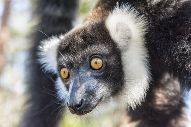 Ruffed lemur close-up Black and white ruffed lemur,Ruffed lemur,mammalia,mammal,primates,Lemuridae,lemur,hanging,climbing,animal behaviour,cute,endemic,critically endangered species,critically endangered,Madagascar,Africa,