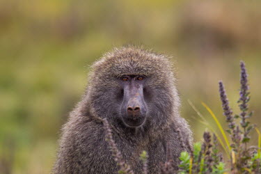 Olive baboon portrait Olive baboon,Anubis baboon,Paiop anubias,mammalia,mammal,primate,old world monkey,cercopithecidae,least concern,baboon,face,eyes,nose,close up,fur,profile,vertebrate,Primates,Old World Monkeys,Cercopi