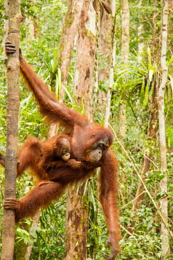 Mother Sumatran orangutan with young climbing tree Sumatran orangutan,orangutan,pongo abelii,mammalia,mammal,primate,hominidae,hominid,great ape,forest,rainforest,Sumatra,Indonesisa,Asia,critically endangered species,critically endangered,mother,mothe