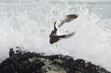 Kelp gull flying from waves African bird,Beauty in Coastline,Horizontal,Kelp Gull,Marine Protected Area,National Park,South Africa,West Coast National Park,Western Cape,africa,african,african wildlife,animal,aves,avian,biology,f