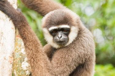White-handed gibbon White handed gibbon,Lar gibbon,Common gibbon,hylobates lar,mammalia,mammal,primates,primate,hylobatidae,gibbon,endangered species,endangered,Sumatra,Asia,Indonesia,face,cute,eyes,nose,climbing,portrai