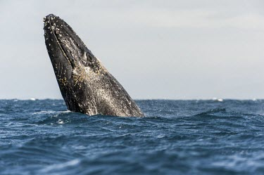 Humpback whale head at surface Humpback whale,whale,mammalia,mammal,balaenopteridae,least concern,sea,marine,ocean,Madagascar,Africa,vertebrate,breach,cetacean,breaching,animal behaviour,head,splash,waves,Rorquals,Balaenopteridae,C