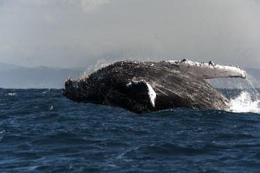 Humpback whale breaching Humpback whale,whale,mammalia,mammal,balaenopteridae,least concern,sea,marine,ocean,Madagascar,Africa,vertebrate,breach,cetacean,splash,pectoral fin,Rorquals,Balaenopteridae,Cetacea,Whales, Dolphins,