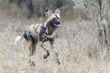 Wild Dog running after prey Horizontal,KwaZulu Natal,South Africa,Zimanga Game Reserve,Zululand,africa,african,african animal,african mammal,african wildlife,animal,animal themes,animals in the wild,biology,carnivore,day,endange