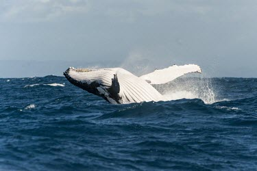 Humpback whale at surface Humpback whale,whale,mammalia,mammal,balaenopteridae,least concern,pectoral fin,pectoral fin slapping,animal behaviour,cetacean,sea,marine,ocean,Madagascar,Africa,splash,breaching,underside,water,wave