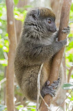 Dwarf lemur Dwarf lemur,Cheriogaleus,Cheirogaleidae,primates,mammalia,mammal,Madagascar,endemic,Africa,side profile,climbing,cute,face,eyes,nose,lemur,vertebrate,tiny,little