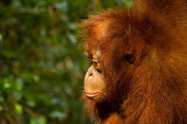 Young Sumatran orangutan side profile baby,juvenile,young,infant,profile,portrait,Sumatran orangutan,orangutan,pongo abelii,mammalia,mammal,primate,hominidae,hominid,great ape,forest,rainforest,Sumatra,Indonesisa,Asia,critically endangere