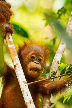 Young Sumatran orangutan in tree baby,juvenile,young,infant,profile,portrait,Sumatran orangutan,orangutan,pongo abelii,mammalia,mammal,primate,hominidae,hominid,great ape,forest,rainforest,Sumatra,Indonesisa,Asia,critically endangere