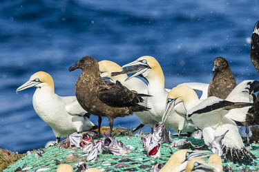Cape gannets and sub-Antarctic skuas scavenging from fishing net African bird,Feeding,Horizontal,Outdoors,Pelagic,Seabirds,South Africa,africa,african wildlife,animal,aves,avian,biology,cape canyon,cape gannets,color,commercial fisheries,day,deep sea,fauna,fisherie