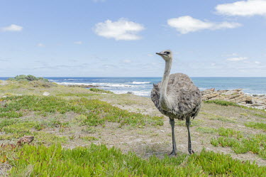 Female ostrich African bird,Beauty in Cape Point Nature Reserve,Coastline,Horizontal,National Park,Outdoors,South Africa,Table Mountain National park,Western Cape,africa,african,african wildlife,animal,aves,avian,bi