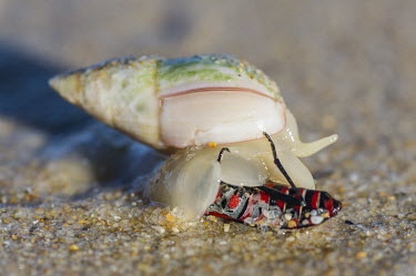 Plough snail eating prey Horizontal,Marine Protected Area,National Park,Outdoors,South Africa,Tsitsikamma Marine Protected Area,Western Cape,africa,african,day,feeding on a beetle,garden route national park,marine invertebrat