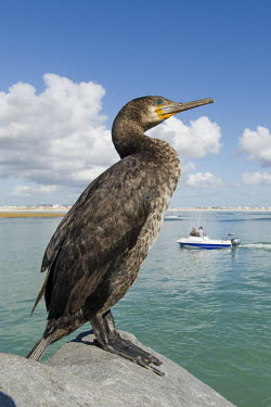 Cape cormorant perched on rock African bird,Beauty in Cape Cormorant,Coastline,Outdoors,South Africa,Western Cape,africa,african,african wildlife,animal,aves,avian,biology,day,fauna,harbor,no people,one,ornithological,ornithology,s