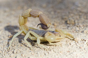 Parabuthid scorpion Beauty in Horizontal,Namaqua National Park,National Park,Northern Cape,Outdoors,South Africa,africa,african,defensive,nature reserve,no people,protected area,rural,scorpion,thick-tailed,venomous,Parab