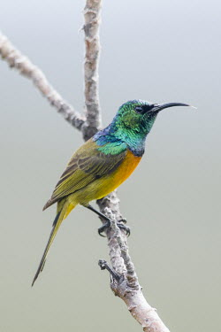 Male orange-breasted sunbird African bird,Beauty in Cape Point Nature Reserve,Horizontal,National Park,Outdoors,South Africa,Table Mountain National park,Western Cape,africa,african,african wildlife,animal,aves,avian,biology,day,