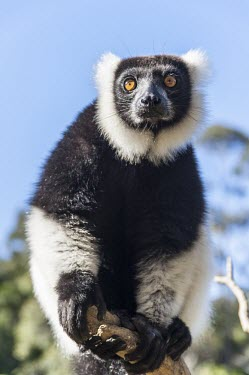 Ruffed lemur Black and white ruffed lemur,Ruffed lemur,mammalia,mammal,primates,Lemuridae,lemur,animal behaviour,cute,endemic,critically endangered species,critically endangered,Madagascar,Africa,profile,climbing,