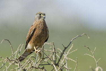 Immature rock kestrel African bird,Beauty in Horizontal,Marine Protected Area,National Park,South Africa,West Coast National Park,Western Cape,africa,african,african wildlife,animal,aves,avian,biology,fauna,immature,nature