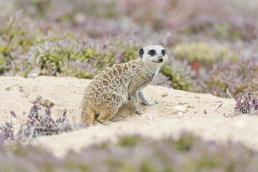 Meerkat Beauty in Horizontal,Namaqua National Park,National Park,Northern Cape,Outdoors,South Africa,africa,african,african animal,african mammal,african wildlife,animal,animal themes,animals in the wild,biol