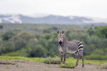 Cape mountain zebra stallion in the fynbos Cape Mountain Zebra,De Hoop Nature Reserve & Marine Protected Area,Horizontal,Marine Protected Area,Outdoors,South Africa,Western Cape,World Heritage Site,adult,africa,african,african animal,african m