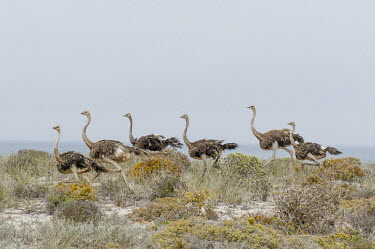 Ostrich flock running African bird,Beauty in Horizontal,Namaqua National Park,National Park,Northern Cape,Outdoors,South Africa,africa,african,african wildlife,animal,aves,avian,biology,fauna,nature reserve,no people,ornit
