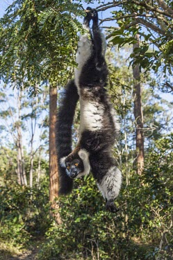 Ruffed lemur dangling from tree Black and white ruffed lemur,Ruffed lemur,mammalia,mammal,primates,Lemuridae,lemur,animal behaviour,cute,endemic,critically endangered species,critically endangered,Madagascar,Africa,dangling,dangle,a