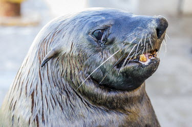 Portrait of a cape fur seal bull Bull,Horizontal,Kalk Bay,Outdoors,South Africa,Western Cape,africa,african,african animal,african mammal,african wildlife,animal,animal themes,animals in the wild,biology,cape fur seal,day,fauna,male,