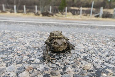 Common toads in amplexus Common toad,bufo bufo,amphibia,amphibian,anura,toad,bufonidae,vertebrate,pair,road,road crossing,amplexus,reproduction,Scottish Highlands,Scotland,UK,Europe,close up,profile,British species,UK species